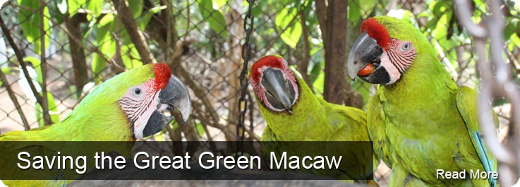 Saving the Great Green Macaw